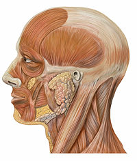 200px-Lateral_head_anatomy