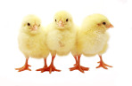 Three Isolated Easter Chicks